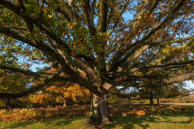 Under Autumn Oak