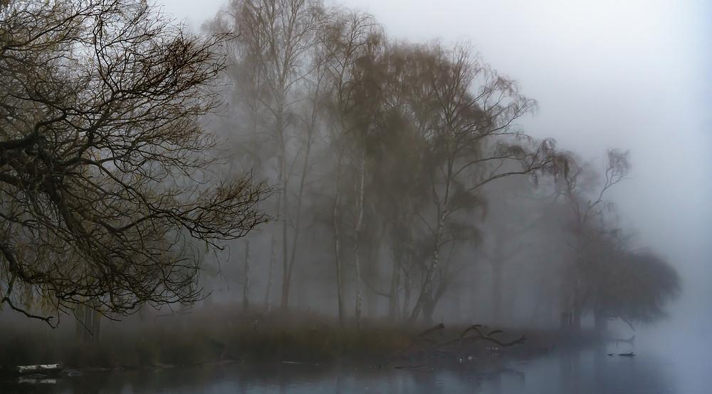 The silver birch plantation at Pen Ponds - Richmond Park