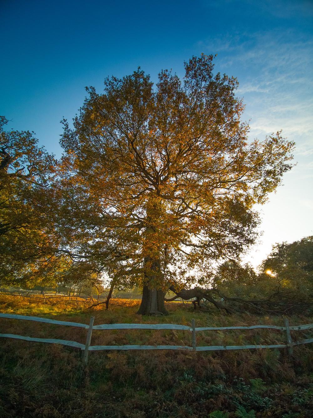 Richmond Park - Damaged Oak by Thatched House Lodge