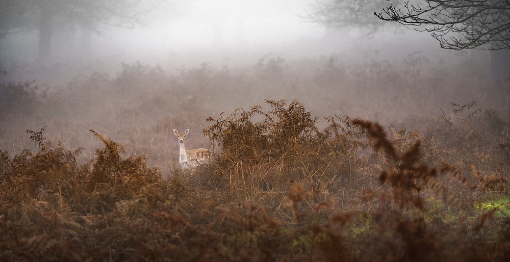 Well, hello there! - fallow deer - Richmond Park