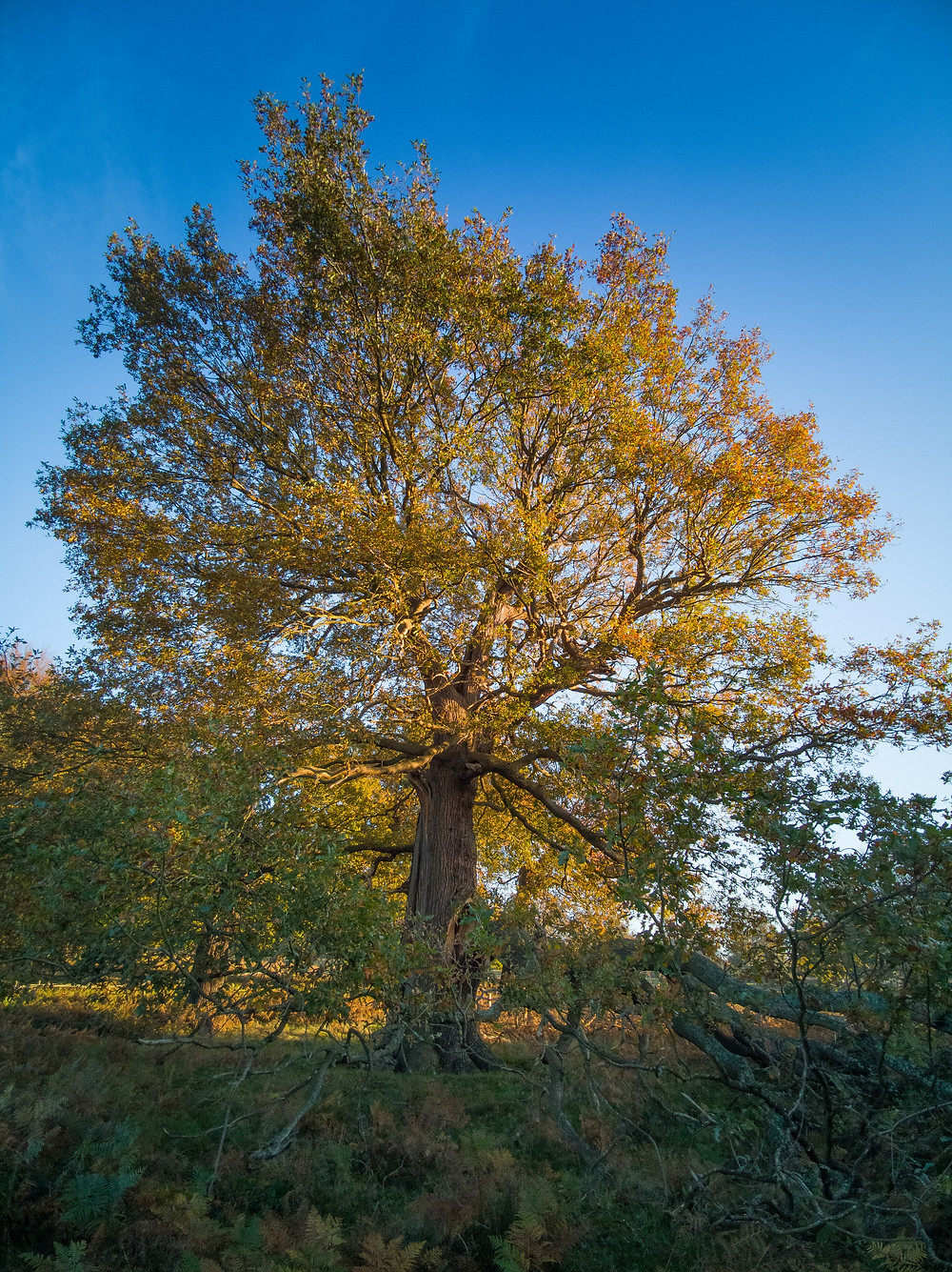 Richmond Park - Damaged Oak by Thatched House Lodge