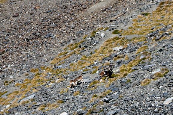 Mouflons dans les Pyrénées
