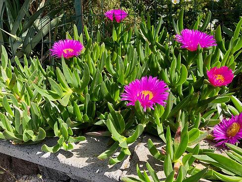 Plantes grasses (Vulcano)