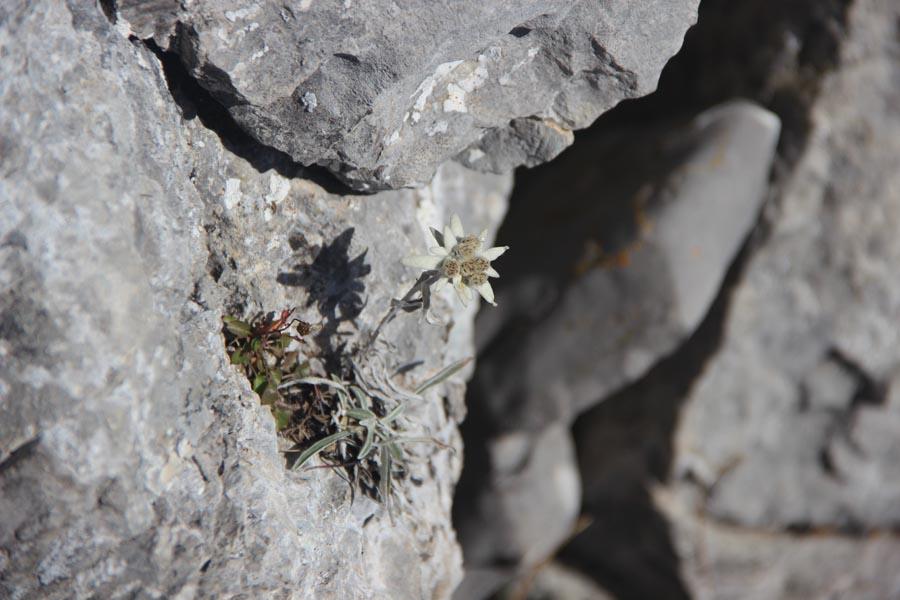 Edelweiss de fin de saison...