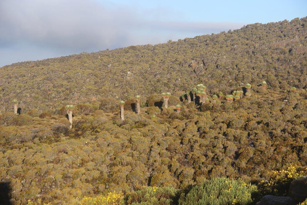 Forêt de séneçons géants
