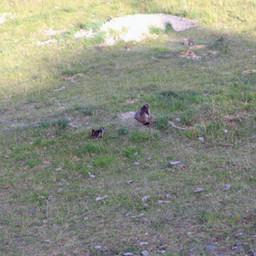 Marmottes du matin