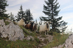 Moutons de race Thônes-et-Marthod