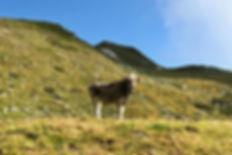 Vache Grauvieh