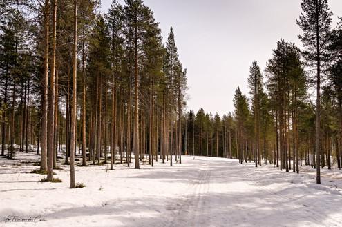 Forêts lapones