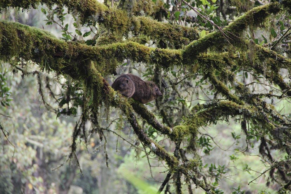 Damans des arbres ou Pimbi