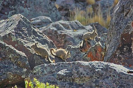 Viscaches