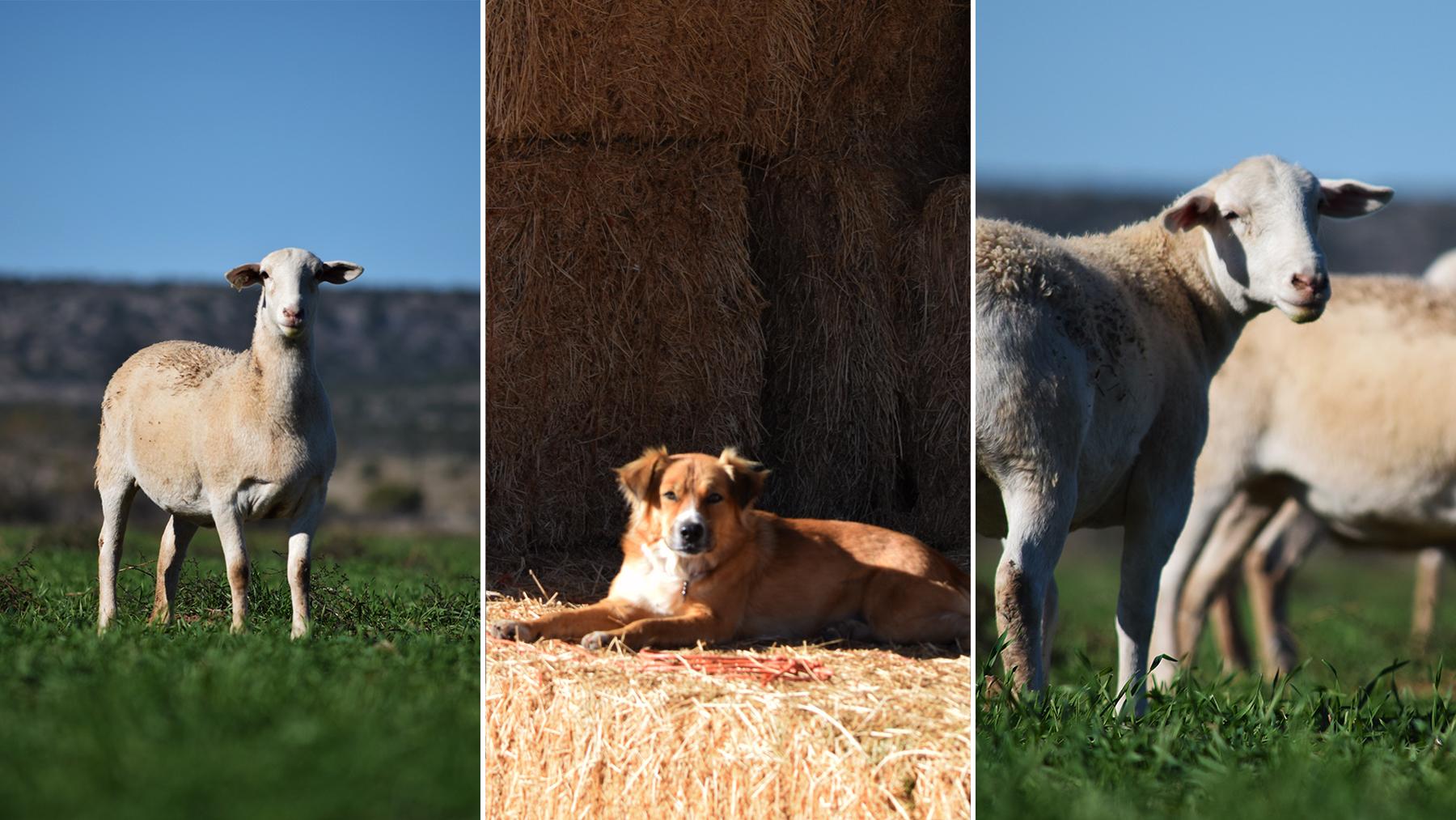 Sasha & Ewes.jpg