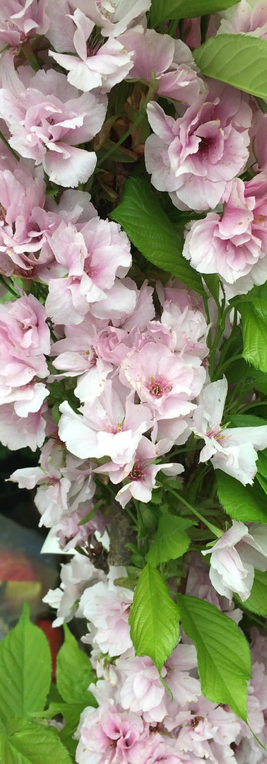 Windblown Blossoms