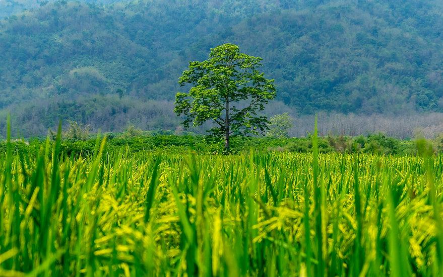 Rizière Chiang Raï