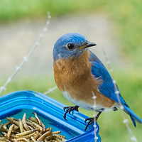Bluebird with mealworms