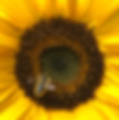 ENDO Sunflower Picture.jpg