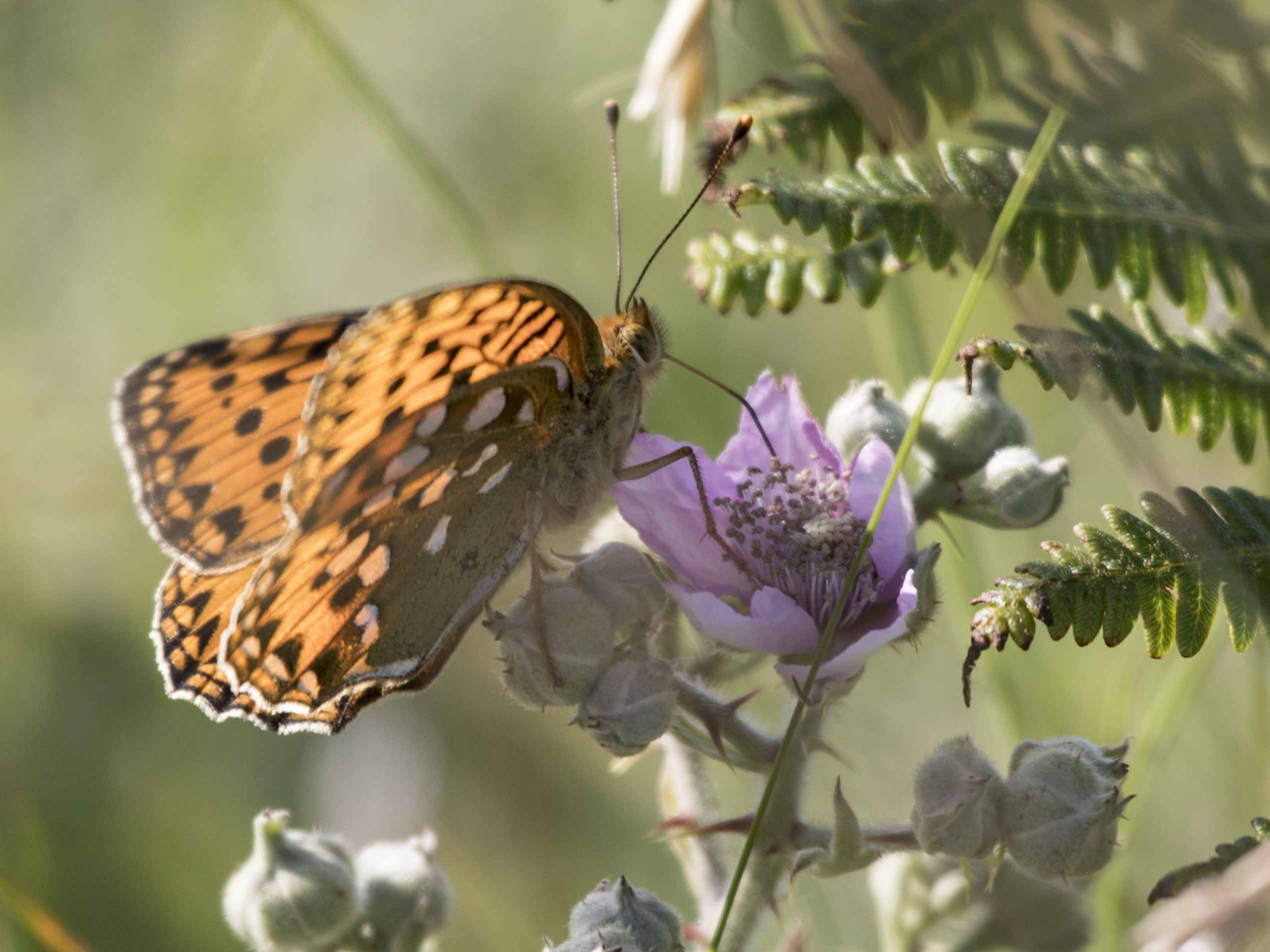 Dark Green Fritillary 05
