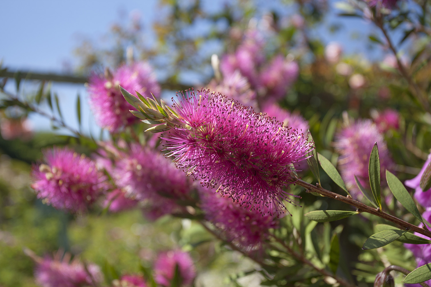 Bottlebrush.jpg