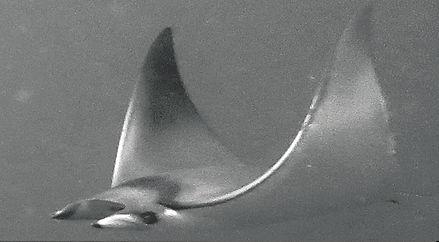 mobula japonica.jpg