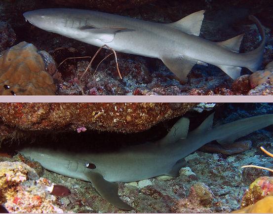 nurse shark.jpg
