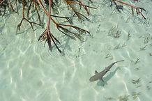 Lemon shark- Mangrove roots.jpg
