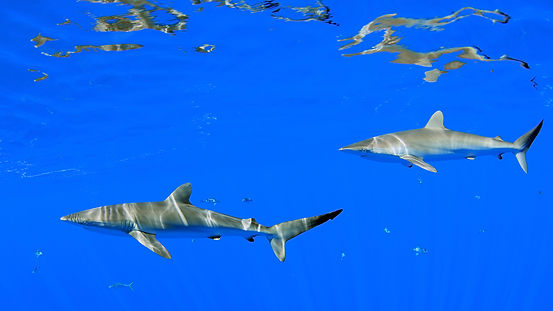 Silky sharks.jpg