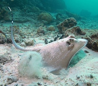 blue spotted ray (local white spotted) by Dolphins Pacific area.jpg