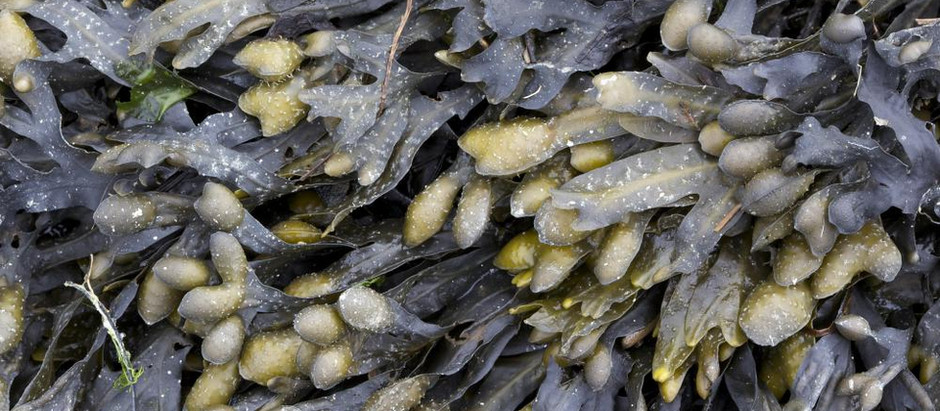 Bladderwrack Improves Vision, Treats Thyroid Disorders and Kills Cancerous Cells.