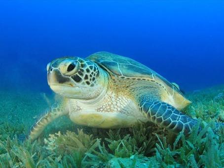 Ινδία: Οι χελώνες επέστρεψαν επίσημα μετά τον μεγαλύτερο καθαρισμό παραλίας στην ιστορία