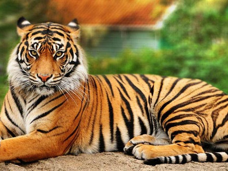 Λιγότερες από 4. 000 οι Τίγρεις που απομένουν στον κόσμο