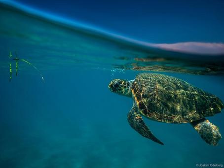 Χρονιά ρεκόρ το 2018 για τη Ζάκυνθο σε φωλιές θαλάσσιας χελώνας Caretta caretta