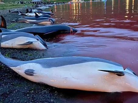 Σφαγή χιλιάδων δελφινιών στα Νησιά Φερόε