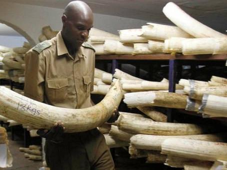 Ακμάζει στην Ευρώπη η παράνομη εμπορία ελεφαντόδοντου