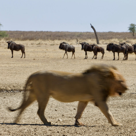 Lion and blue wildebeest