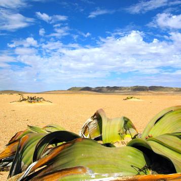 Welwitschia Plains, Namibia