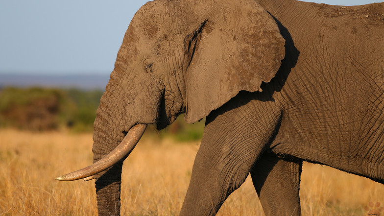 Elephant 3419.jpg