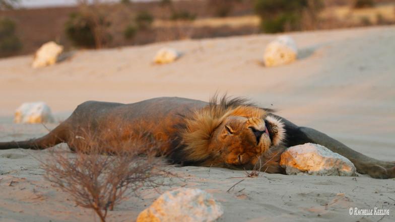 Black Maned Lion 2890.jpg