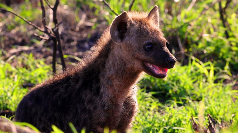 Hyena KNP 3618.jpg