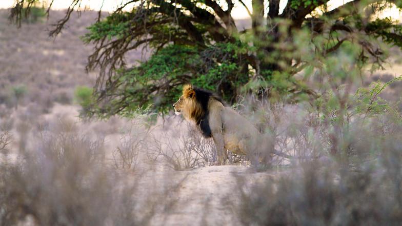 Black Maned Lion 2360.jpg