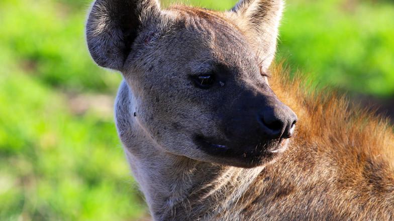 Hyena KNP 3568.jpg