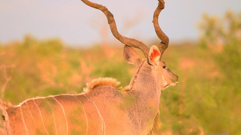 Kudu KNP 3497.jpg