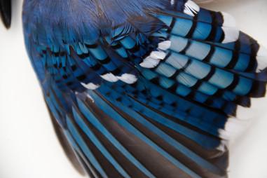 Blue Jay_023.jpg