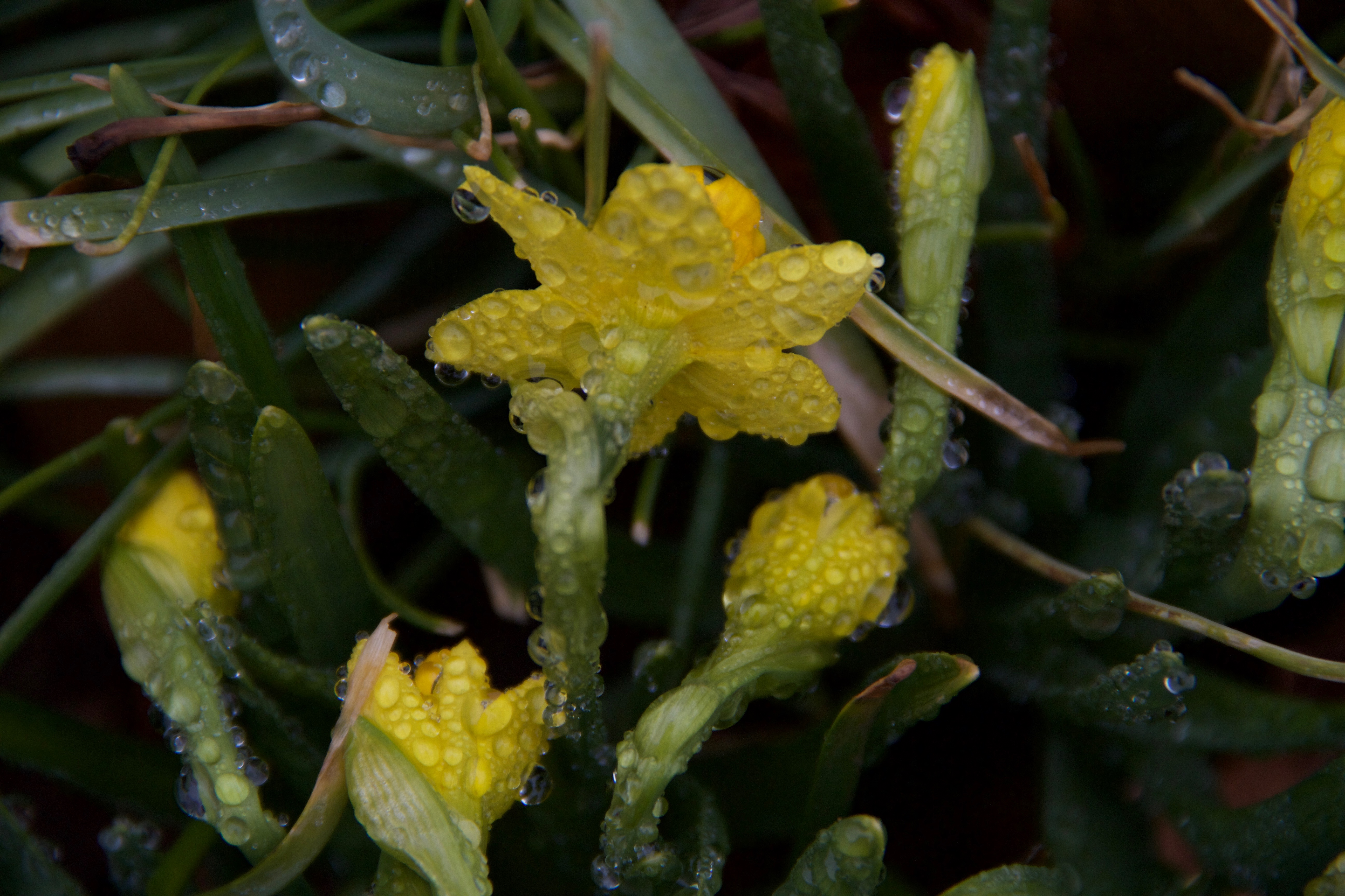 Dewy Daffodills