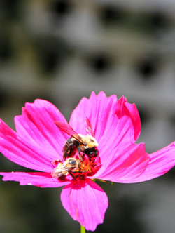 2 bees pink flower