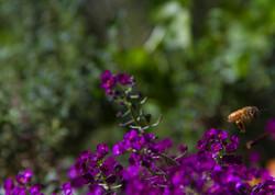 purple honey bee 2