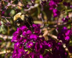 bumblebee with leg pollen better