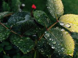 Green Rose Leaf Dew