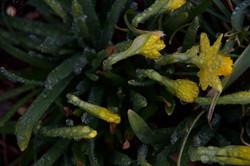 Dewy Daffodills 1