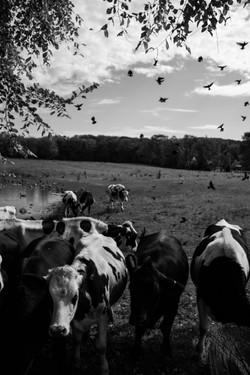 Hayes Farm Calf_106