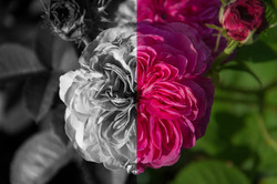 Color and BAW Rose